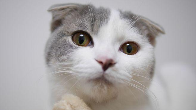 垂れ耳猫のスコフォはこの世から消えるのか