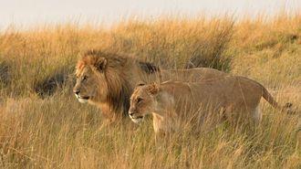 アフリカで「ライオン」が激減している真因