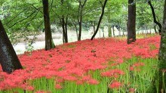 日本一のヒガンバナ群生「巾着田」の誕生秘話