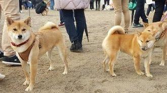 「日本の柴犬」が韓国で人気犬種になった理由