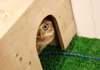Life's no hoot for owls in Tokyo cafes, activists say