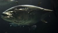 "Pacific Bluefin Tuna to Be Listed on the ""Red List"""