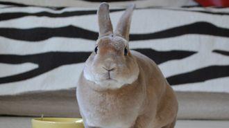 続出する「高齢ウサギ介護」の知られざる実態