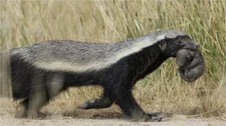 世界で最も恐ろしい陸生動物「ラーテル」の正体