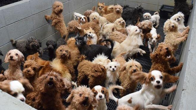 悲惨な「子犬工場」を虐待容疑で裁けない実情