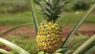 Unlocking the Pineapple's Secrets