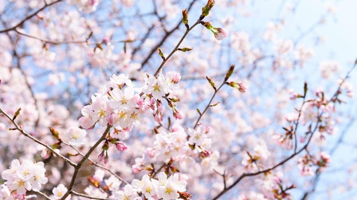 日本人はなぜ「桜」をこんなにも愛するのか | ファッション・トレンド ...