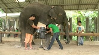 How Mocha the Elephant Lost Her Leg and Got It Back