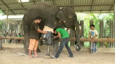 How Mocha the Elephant Lost Her Leg and Got It Back