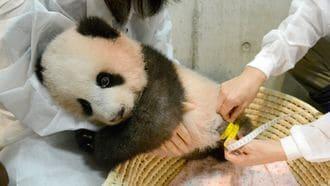 赤ちゃんパンダ「シャンシャン」、生後4カ月に