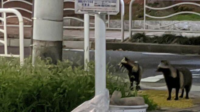 東京の街中で「タヌキ目撃」が激増している謎
