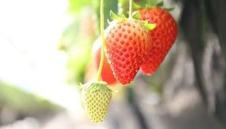 The Unending Passion of the Land of Strawberries