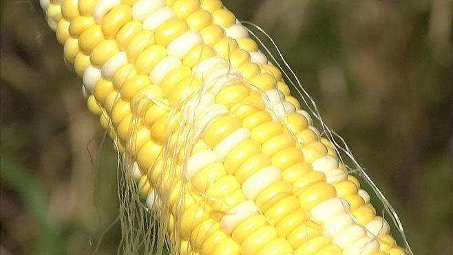 1日2万本が売れるトウモロコシ農家の秘密