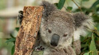 コアラを「絶滅危機」に追いやる深刻な山火事