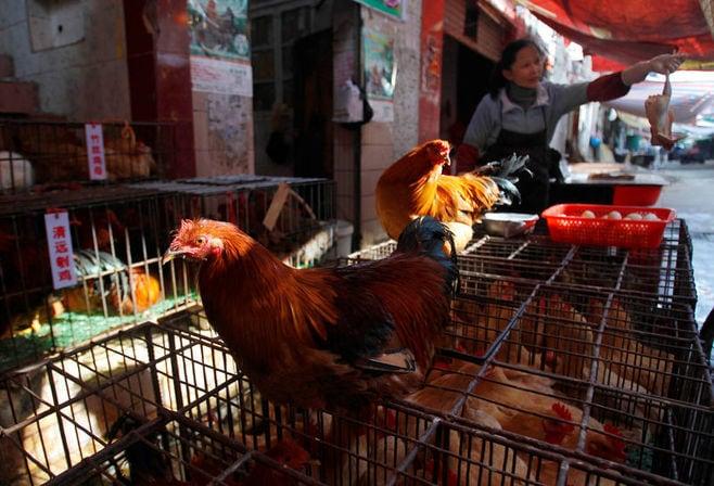 中国食品大手、品質改良で「肉厚の鶏」に活路