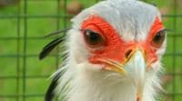 Snake-Hunting Secretary Bird Has Killer Kick