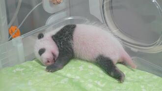 体重6倍超「双子パンダ」生後1カ月劇的成長の裏側