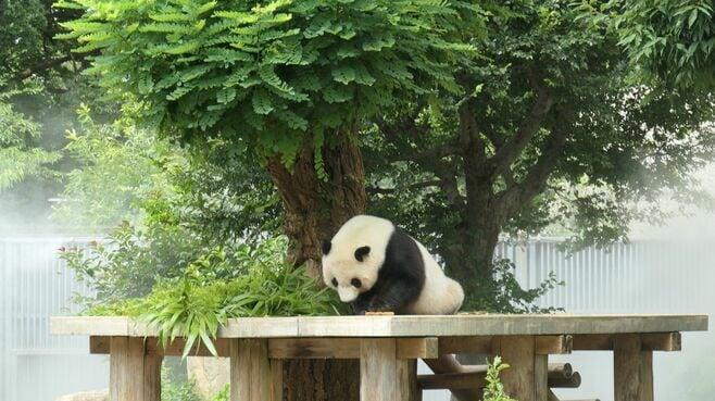 中国に帰る「神戸のパンダ」25年の劇的な半生