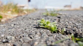 本当に強い雑草は「立ち上がらない」という真実
