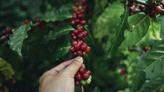 日本人が知らない「コーヒー」生産農家の悲哀