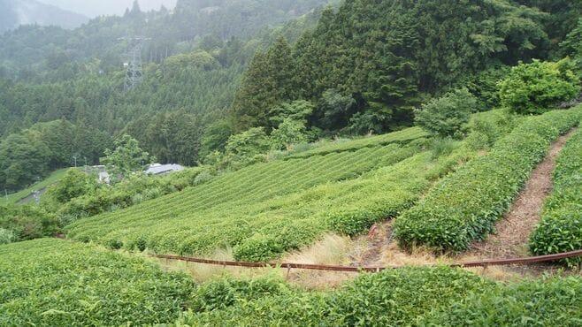 100gで1万円!高級茶葉農園の並外れた情熱