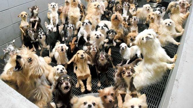 不起訴処分の福井の子犬工場、検察審査会へ