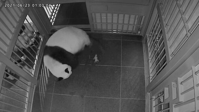 「すり替え作戦で育児」双子パンダ誕生の舞台裏