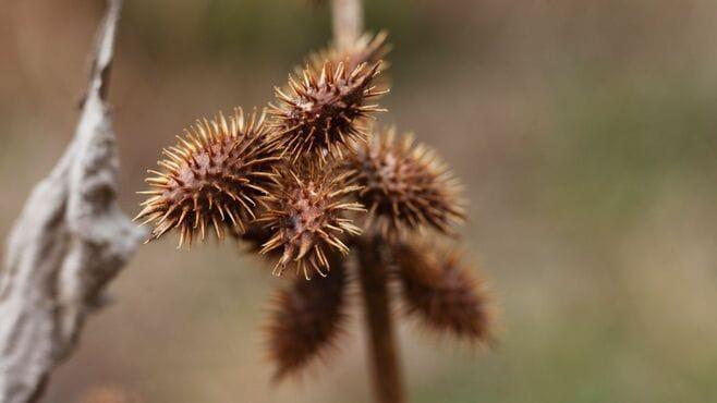 雑草「オナモミ」が2種類の種を仕込む深い理由