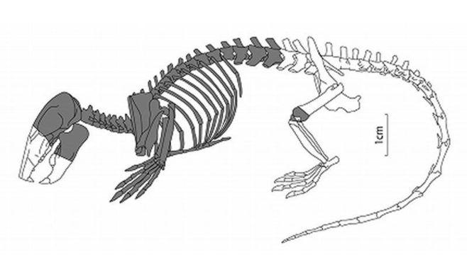 恐竜時代の哺乳類、骨格化石で解明進むか