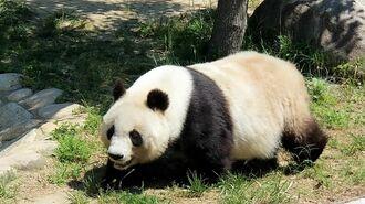 神戸のパンダが20年ぶりに中国へ帰る背景事情