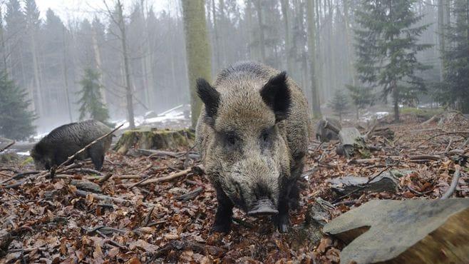 害獣の「猪」を特産品に変えた石川の創意工夫