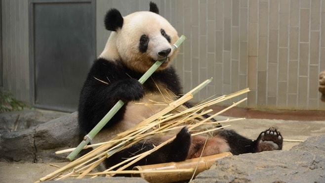 シャンシャン「数十秒接見に殺到」上野動物園の今