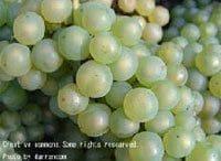 ワイン造りの思想 その3 セパージュ(品種)主義《ワイン片手に経営論》第14回