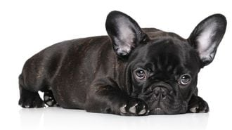 「子犬工場」撲滅には、欧州並みの徹底規制を