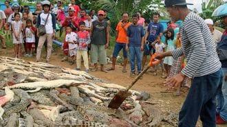 インドネシアの住民がワニを大虐殺したワケ