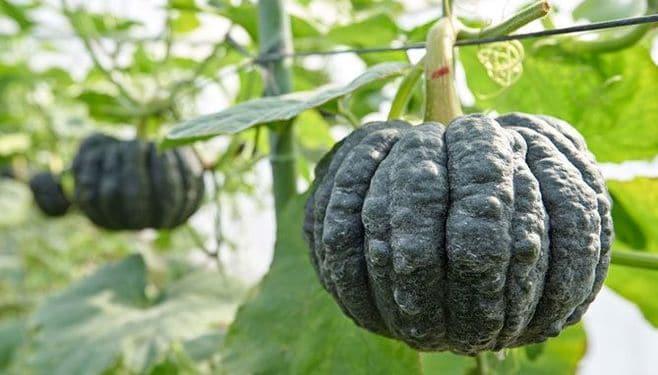 伝統野菜「黒皮かぼちゃ」は他と何が違うのか