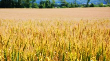 The Ingrained Power of Tokachi's Wheat Supported by Producers and Manufacturers
