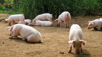 豚に3密を強いる農水省「放牧禁止」政策の是非