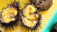Premium Sea Urchins Nurtured in the Sea