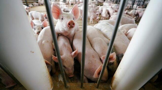 日本の養豚が「アメリカに侵略」される驚愕事実
