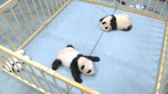 パンダは暑がり「産室22度」で過ごす双子の成長記