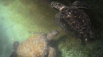 日本海側で初、福井県でクロウミガメを発見