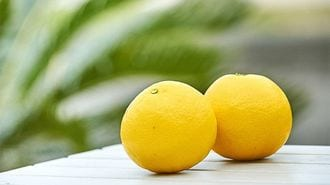 Sun-colored Hyuganatsu Citrus from the Town of Organic Farming