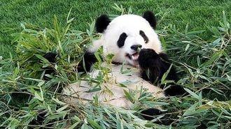 自宅でも「パンダ鑑賞」楽しむための動物園の策