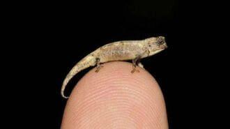 世にも珍しい「世界最小のカメレオン」衝撃の姿