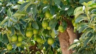 日本人が知らない「アボカド」生産農家の悲哀