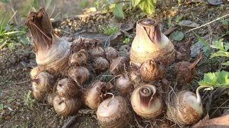 ブーム到来?「伝統野菜」活用が地方を変える