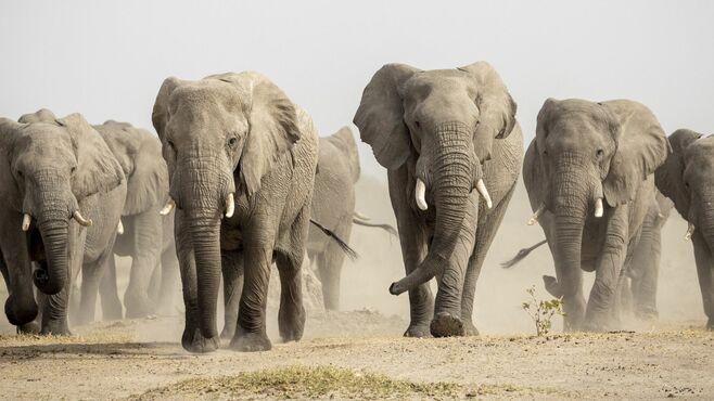 野生の象を怒らせ「踏まれた男」の衝撃的瞬間