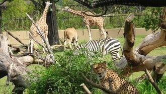 横浜「キリンとチーター」が共存する動物園の今