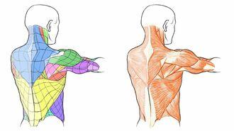 知るほどハマる!「美術解剖学」の味わい深い世界